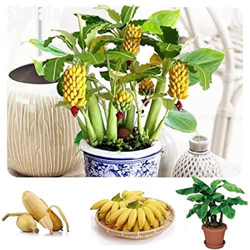Cioler 100 Stücke Obstsamen Banane Samen Mini Bonsai Hausgarten Obst Bäume Outdoor Obst Samen für Garten Pflanzen