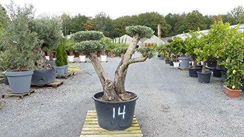 genau dieser Pon Pon 14: uriger, alter Olivenbaum als Formgehölz, knorrige Olive winterhart