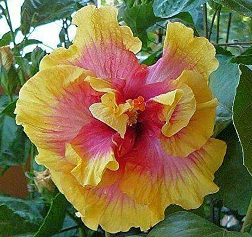 Rain Forest Flower Live Plant - Rare Multicolor Hibiscus/Gudhal Double Leaf Flower Plant (1 Healthy Airlayering Plant)