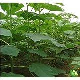 Nueva paulownia elongata200 semillas de plantas frescas fácil crecer regalo real de rápido crecimiento ÁRBOL * bonsai casa pl