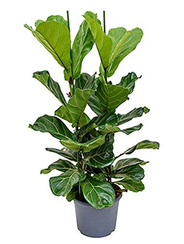 Geigenfeige große Zimmerpflanze für hellen Standort Ficus lyrata 1 Pflanze 100-120 cm im 29 cm Topf von Redwood