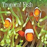 Tropical Fish - Tropische Fische 2020 - 16-Monatskalender: Original BrownTrout-Kalender [Mehrsprachig] [Kalender] (Wall-Kalender)