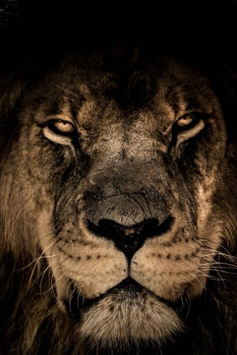 Close Up Gallery (Intimidating Lion Up Close Journal: 150 Page Lined Notebook/Diary)