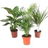 Amazon.de Pflanzenservice Zimmerpflanzen-Mix II 3er Set, 1x Diefenbachia, 1x Chamaedorea 1x Dracena marginata, 10-12 cm Topf, Kübelpflanzen