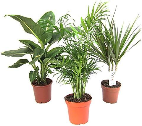 Amazon.de Pflanzenservice Zimmerpflanzen-Mix II 3er Set, 1x Diefenbachia, 1x Chamaedorea