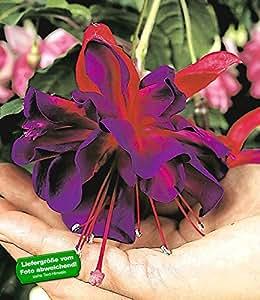 """BALDUR-Garten Riesen-Fuchsie """"Voodoo"""",2 Pflanzen"""