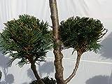 Pon Pon 180 cm Formgehölz Scheinzypresse 'Col...Vergleich
