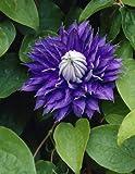 Dominik Blumen und Pflanzen, Clematis
