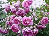 'Jasmina' -R-, Kletterrose in A-Qualität Wurzelware, ADR-Rose