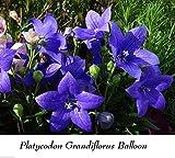 Portal Cool Platycodon Balloon Campana Fiore Astra 40 Seed insolito blu Hardy pettine S/H + regalo