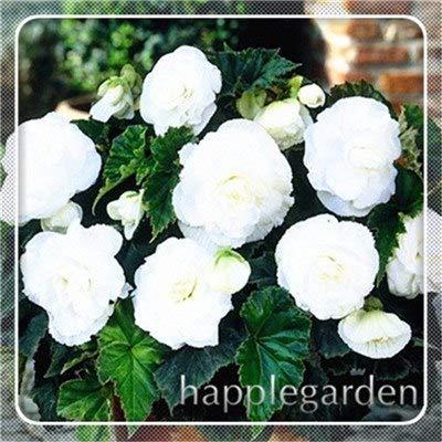pinkdose 20 pz begonia pianta bonsai fiore pianta fai da te decorazione del giardino begonie bonsai in vaso facile da coltivare albero nana piante da appartamento: 16