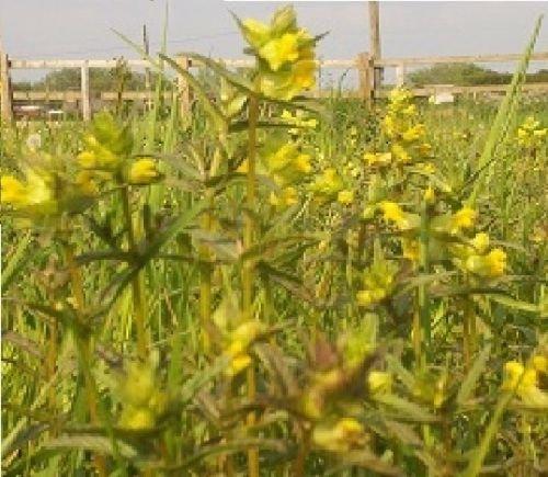 Just Seed Britische Wildblume Gelb Rassel Rhinanthus minor, Britische Wildblume, 1200 Samen