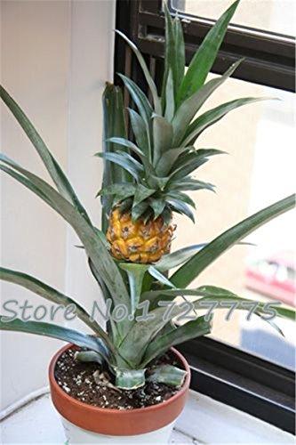 SVI - Sac de 100 graines d'ananas