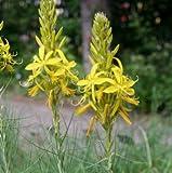 Junkerlilie ( Asphodeline lutea)