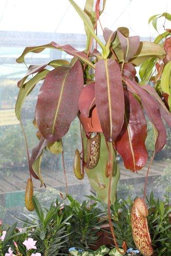 """Zimmerpflanze - Nepenthes Carniverous - Hängende Pflanze - wird auch als """"Kannenpflanze"""" bezeichnet und gehört zu den fleischfressenden Pflanzen (Hängende Zimmerpflanzen)"""