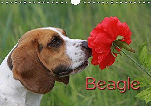 Beagle (Wandkalender 2018 DIN A4 quer): Liebenswerte Schlappohren (Monatskalender, 14 Seiten ) (CALVENDO Tiere) [Kalender] [Apr 01, 2017] / Antje Lindert-Rottke + Martina Berg, Pferdografen.de (Beagle-kalender)