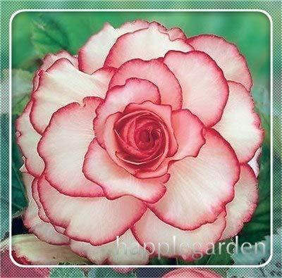 pinkdose 20 pz begonia pianta bonsai fiore pianta fai da te decorazione del giardino begonie bonsai in vaso facile da coltivare albero nana piante da appartamento: 5