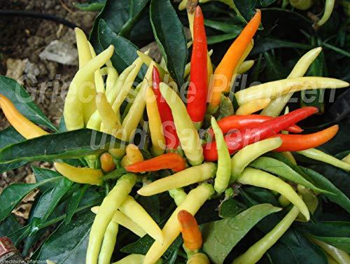 Portal Cool Samen Paket: Medusa Chili Kinder spitzer Hüte 10 Samen Süße für Kinder Snack Corner Paprika