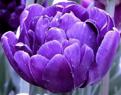 """Tulipa - Gefüllte Tulpe """" Blue Diamond """" (5) von GHA-Thulke - Du und dein Garten"""