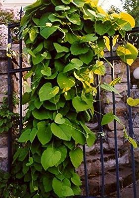 Baumschule Anding Pfeifenwinde - Aristolochia macrophylla von Baumschule Anding bei Du und dein Garten