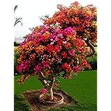 100 semillas de buganvilla coloridas, maceteros para balcón, semillas de jardín en bonsái, floríferas y resistentes, sementes