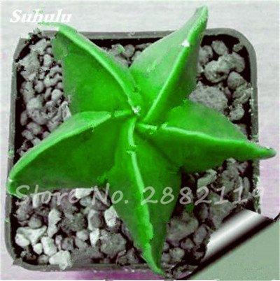 Succulentes graines fraîches 200 Pcs étoile à cinq branches charnus Graines rares Sempervivum Mix-kinds Fleurs Succulent Bonsai Plantes 8 pot