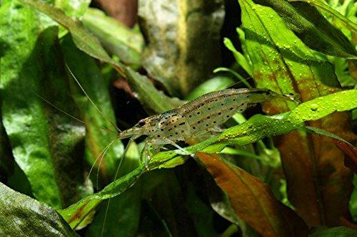 Amano Garnele – Caridina multidentata (japonica), 10 Stück - 5