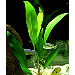 25 Live Aquarium Plants/9 Different Kinds - Amazon Swords, Anubias, Java Fern, Ludwigia and much more! Great plant… 16