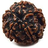 55Carat Nepali Rudraksha Bead 5 Mukhi 5 Face Certified Natural Original Rudraksh