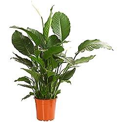 """Dehner Einblatt""""Silvana"""", weißer Blütenkolben, ca. 90-100 cm, Zimmerpflanze"""