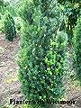 Becher Eibe Taxus media Hicksii 100 - 125 cm hoch im 11 Liter Pflanzcontainer
