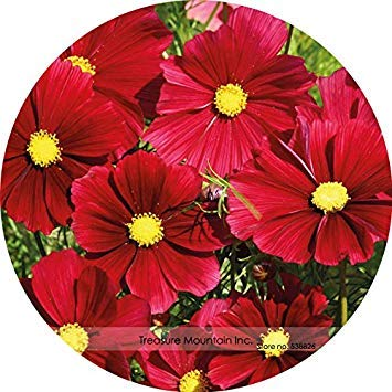 ASTONISH Sgomento SEEDS: TS096 5: Heirloom rari semi importati USA Coreopsis Cosmea, Professional Service Pack, 100 semi/pack, molto bella