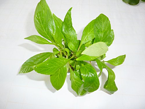 Fish Around Aquarium Live plant hygrophila, Suitable for Heated Aquariums 2