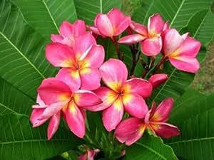 "8 inch to 12 inch plumeria frangipani pflanze cutting rooted plumeria frangipani Ausschnitt verwurzeltes ,name ""Duke2"""