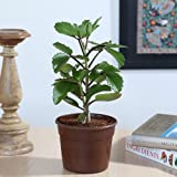 Exotic Green Herb Plant Patharchatta in Brown Pot
