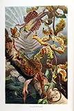 Flugdrache - Nachdruck einer Chromolithografie - Illustrationstafel aus: Brehm´s Tierleben (1892) - 20x30 cm