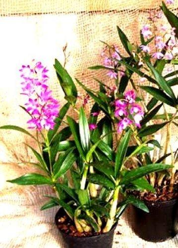 Mühlan Orchideen 1871
