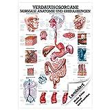 Verdauungsorgane Mini-Poster Anatomie 34x24 cm medizinische Lehrmittel