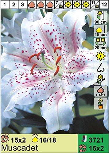 """Lilium - Orientalische Lilie"""" Muscadet"""" 3 Blumenzwiebeln"""
