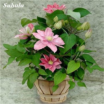 100 Pcs Clematis Graines de plantes Belle Paillage Graines de fleurs Bonsai ou un pot de fleurs vivaces pour jardin Mix Couleurs 1