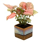 #6: Exotic Green Beautiful Syngonium Pink Indoor Plant Choco Brown Pot