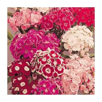 Flower 900 Seeds Sweet William Auricula Eyed