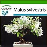 SAFLAX - Bonsai - Europäischer Wildapfel - 30 Samen - Mit Substrat - Malus sylvestris