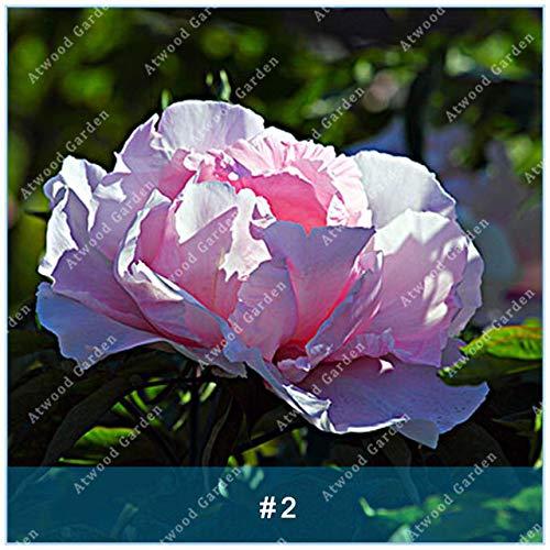 Galleria fotografica Virtue ZLKING Chinese Peony Tree 5 PCS House Peony Flower Unusual Flores Piante perenni Fiori Bulbi Bonsai Dal: 2