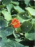Fiore - Nasturzio - Vesuvius - 100 Seme