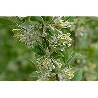 50 Samen//Hecke oder K/übelpflanze//Winterhart Korallen-/Ölweide//ca