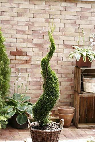 Samen Paket: Bonsai Form genitten Thuja Smaragd-Spirale 50-60cm 2L Containergrown, Bestseller