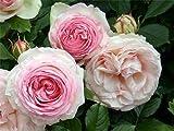 """Strauchrose """"Eden Rose 85 ®"""" -"""