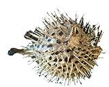 osters muschel-sammler-shop Igelfisch/Stachelfisch - echtes Präperat - ideal zur Fischernetz-Dekoration ab 25cm