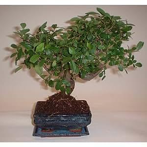Bonsai Japanische Ulme (Zelkova)